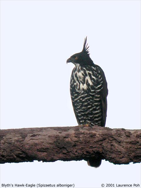 Falconiformes. Família  Acciptridae - Subfamília Buteonidade- Gaviões de penacho. genêro SPIZAETUS DSCN7173%20copy_L