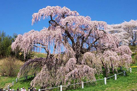 [戻る] 三春の滝桜